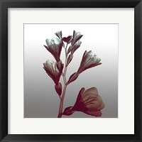 Framed Ombre Freesia Flowers X-Ray