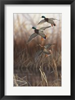 Framed Whisper Wind and Wing - Mallards