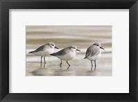 Framed Sanderlings