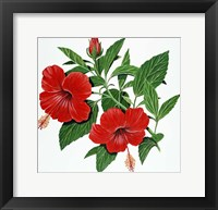 Framed Red Hibiscus