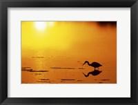 Framed Little Blue Heron at sunset, J.N.Ding Darling National Wildlife Refuge, Florida