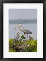 Framed Great Blue Heron and Chicks