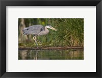 Framed Great Blue Heron stalks for food, Lake Washington, Seattle.