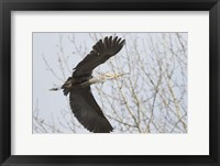 Framed Great Blue Heron, flying back to nest with a stick