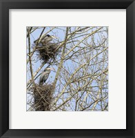 Framed Great Blue Herons, on nest at rookery
