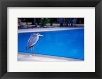 Framed Big Blue Heron, Maldives