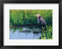 Framed Great Blue Heron in Taylor Slough, Everglades, Florida