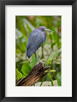 Framed Little Blue Heron, Corkscrew Swamp Sanctuary, Florida