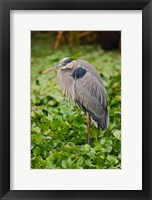 Framed Great Blue Heron bird Corkscrew Swamp  Florida