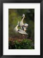 Framed Great Blue Herons in Courtship Display