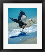 Framed Florida Captiva Island Great Blue Heron bird
