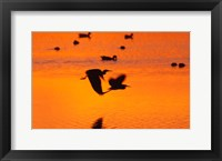 Framed Great Blue Herons Flying at Sunset