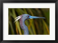 Framed Florida St Augustine, Little Blue Heron at the Alligator Farm