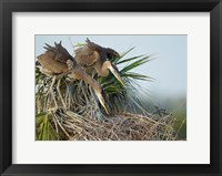 Framed Great Blue Heron chicks in nest looking for bugs, Florida