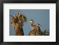 Framed Great Blue Heron bird, Viera wetlands, Florida