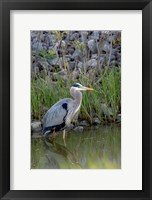Framed Great Blue Heron bird Maumee Bay Refuge, Ohio