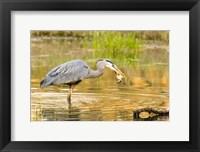 Framed Great Blue Heron bird, William L Finley NWR, OR