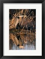 Framed OR, Baskett Slough NWR, Great Blue Heron bird