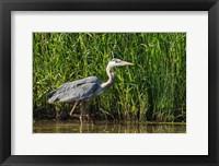 Framed Oregon, Baskett Slough, Great Blue Heron bird
