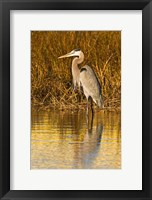 Framed Great Blue Heron standing in Salt Marsh