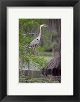 Framed Great Blue Heron bird, Caddo Lake, Texas
