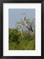 Framed Great Blue Heron, pair in habitat, Texas