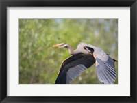 Framed Great Blue Heron (Ardea herodias) with branch in bill, Washington