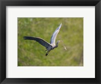 Framed Washington Great Blue Heron flies with branch in its bill