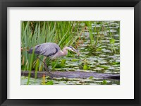 Framed Great Blue Heron bird, Juanita Bay Wetland, Washington