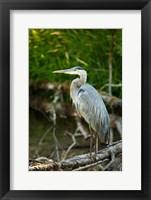 Framed Washington State, Great Blue Heron