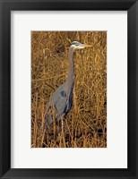 Framed Washington, Seattle, Discovery Park Great Blue Heron