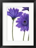 Framed Purple Gerberas 1