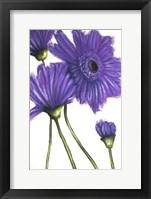 Framed Purple Gerberas 2