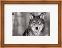 Framed Pop of Color Wolf
