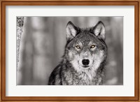 Framed Pop of Color Wolf