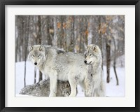 Framed Grey wolves huddle together during a snowstorm, Quebec