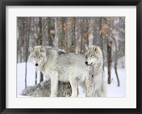 Framed Grey wolves huddle together during a snowstorm, Quebec