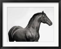 Framed King Mamba, Stallion