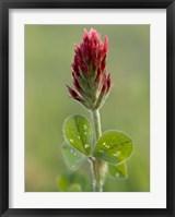 Framed Crimson or Italian flora clover, Mississippi