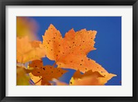 Framed Autumn, White Mountains Forest, New Hampshire