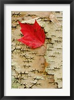 Framed Red maple flora, White Mountain Forest, New Hampshire