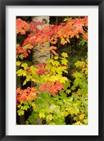 Framed Autumn color, White Mountain Forest, New Hampshire