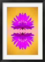 Framed Aster flower in autumn, New Hampshire