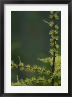 Framed Tamarack Tree Branch and Needles, White Mountain National Forest, New Hampshire
