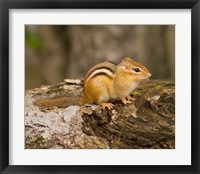 Framed New Hampshire; Lincoln; Franconia Notch SP, Chipmunk