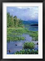Framed Pickerel Weed, Pontook Reservoir, Androscoggin River, New Hampshire