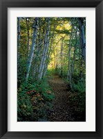 Framed White Birch and Yellow Leaves in the White Mountains, New Hampshire