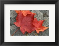 Framed Sugar Maple Foliage in Fall, Rye, New Hampshire
