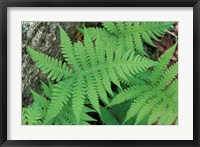 Framed Long Beech Fern, White Mountains National Forest, Waterville Valley, New Hampshire