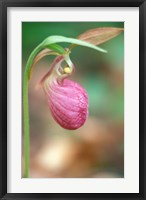 Framed Pink Lady's Slipper near Woodman Brook, Durham, New Hampshire